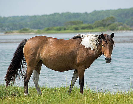 Wild Horse of Assateague  by Carla Mason
