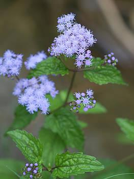 Wild Lavender Ageratum Wildflowers by Kathy Clark