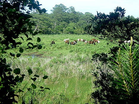 Wild Ponies of Assateague by Karen Fowler