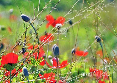 Wild Poppies  by Lydia Holly
