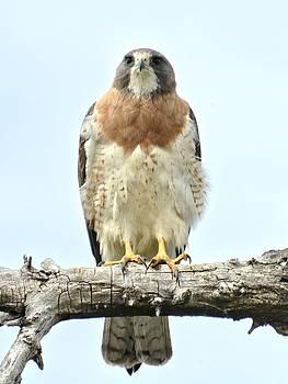Wild Red Tail Hawk by Amy McDaniel