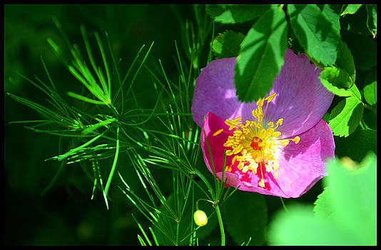 Wild Rose With Wild Asparagus Foliage by Susanne Still