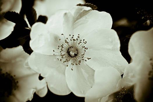Wild Roses by Frank Tschakert