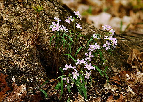 Michael Peychich - Wild Spring Beauty