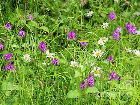 Wild Summer Orchids by Elizabeth Debenham