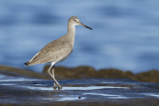 Willet by Bryan Keil