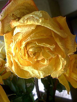 Wilting Rose1 by Maria Mills