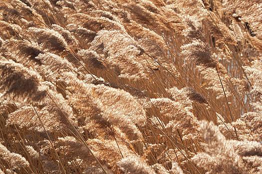 Wind blows through Grasses by Christine Amstutz