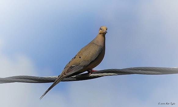 Wings Of A Dove by Matt Taylor