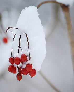 Michael Peychich - Winter Berries