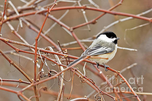 Winter Chickadee by Natural Focal Point Photography