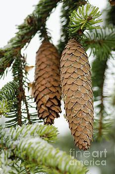 Winter Cones by Nick Boren