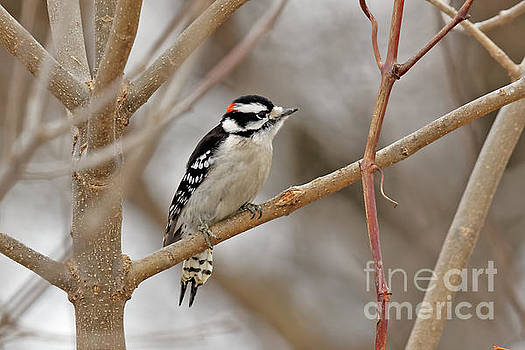 Winter Downey Woodpecker by Natural Focal Point Photography