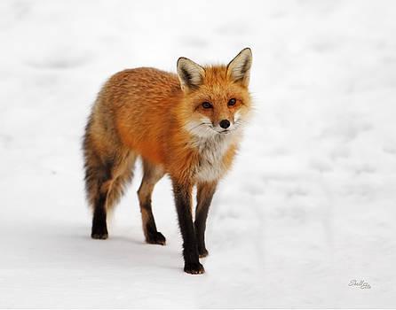 Winter Fox by Shelle Ettelson