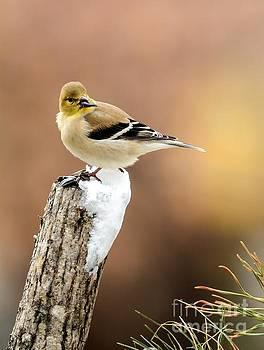 Winter Golden Finch by Debbie Green