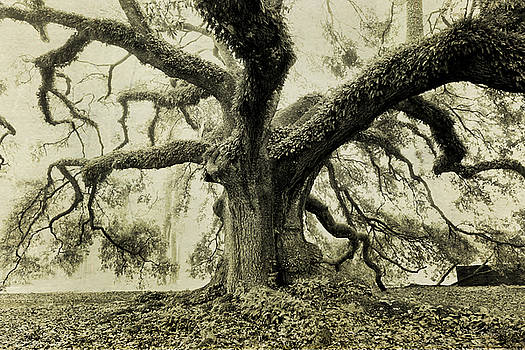 Scott Pellegrin - Winter Oak