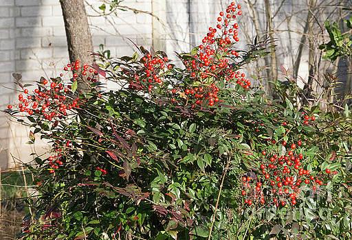 Winter Red Berries by Linda Phelps