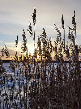 Winter reeds in light wind by Jouko Lehto