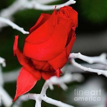 Winter Rose by Cindy Manero