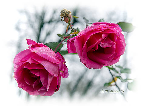 Winter Roses by Brian Wallace