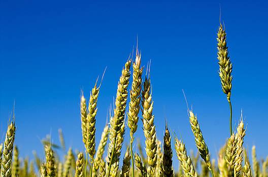 Winter Wheat by Rob Byron