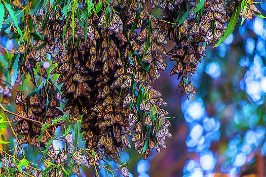 Wintering Monarch Butterflies by Garry Gay