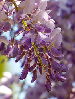 Wisteria Blooms by Steve Taylor