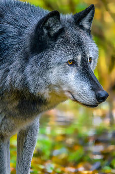 Wolf 2 by Brian Stevens
