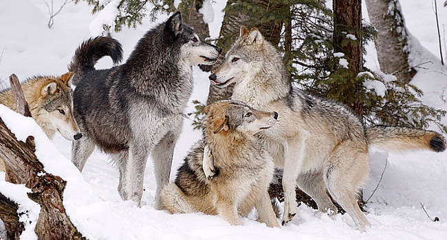 Wolf Pack Winter by Athena Mckinzie
