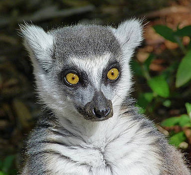 Wondering Ring-tailed Lemur  by Margaret Saheed
