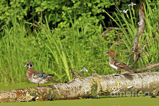 Wood Duck and Merganser by Natural Focal Point Photography