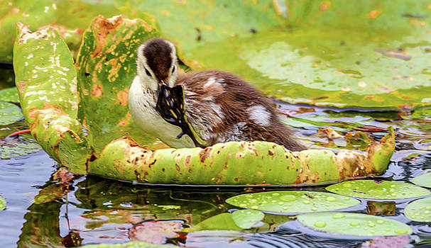 Wood Duck Baby by Jerry Cahill