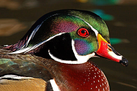 Wood Duck Courtship Colors by Max Allen