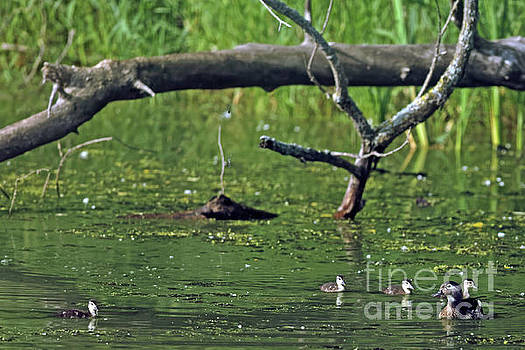 Wood Duck Family by Natural Focal Point Photography