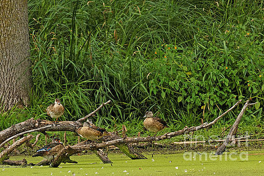 Wood Duck Family Reunion by Natural Focal Point Photography
