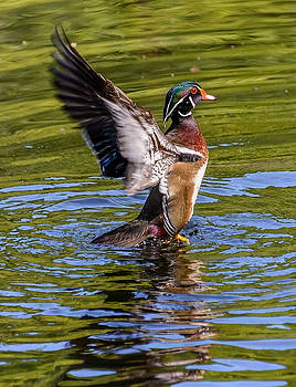 Wood Duck Flapping by Jerry Cahill