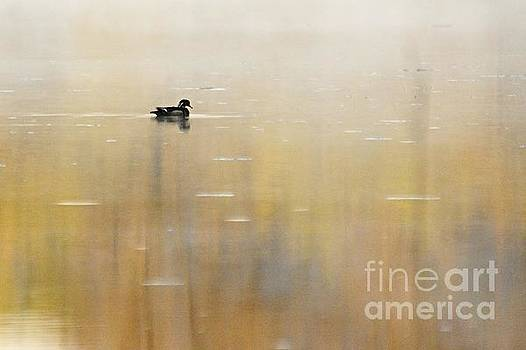 Larry Ricker - Wood Duck on Golden Pond