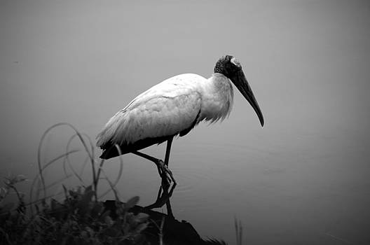 Wood Stork by Andrew Armstrong  -  Mad Lab Images