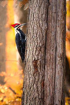 Woodpecker in Autumn by Victoria Winningham