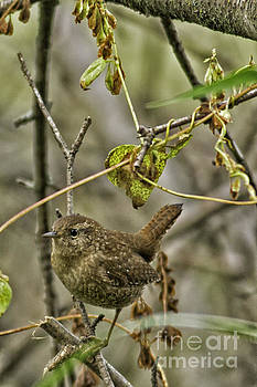 Wren by Natural Focal Point Photography