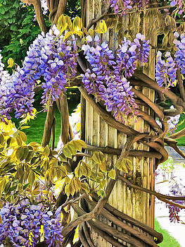 Wysteria Climbing by Steve Taylor