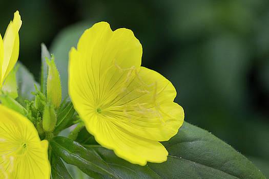Yellow 4-o'clock Flower by Mark Michel