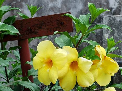 Yellow africans flowers by Isabelle Mbore