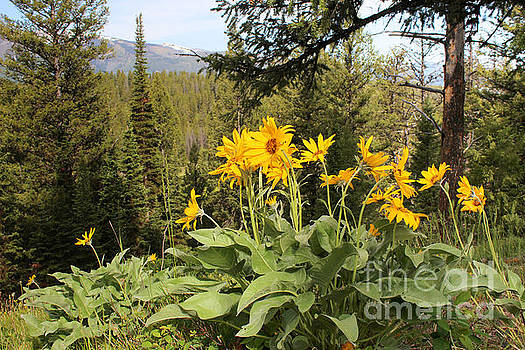 Yellowstone National Park wildflower Yellow Arrowleaf balsamroot by Adam Long