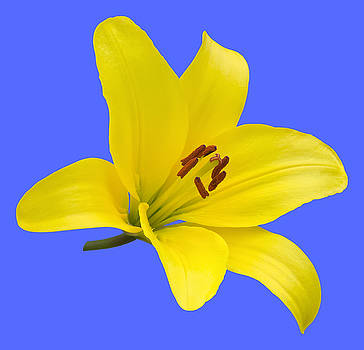 Yellow Asiatic Lily on Blue by Jane McIlroy