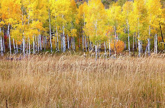 Yellow Aspen Grove by David Millenheft