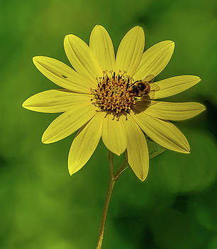 Yellow - Bee by Jerry Cahill