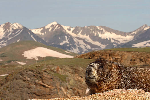 Yellow-bellied Marmot In Mountain Meditation by Max Allen