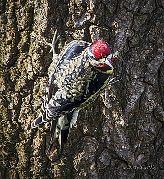 Yellow-bellied Sapsucker by Brian Wallace
