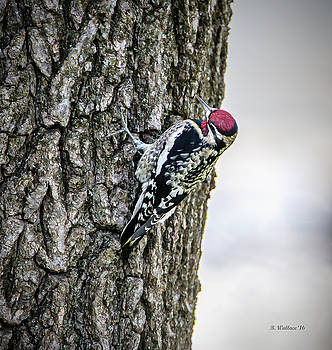 Yellow-bellied Sapsucker - Male by Brian Wallace